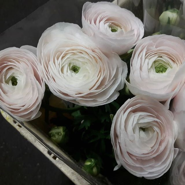 Received the first bucket of Dutch blush Hanoi Ranunculus today!! Very very limited #ranunculus # clooney #blush #hanoi #exclusive #limited #dutchflowers #luxeblooms #nices #flowersfromholland #flowerpower #floraldesign #eventblooms #florist #floristry #i